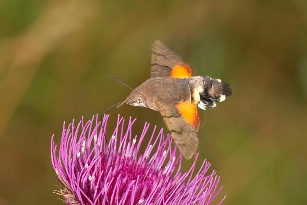 Hummingbird Hawkmoth by klewis