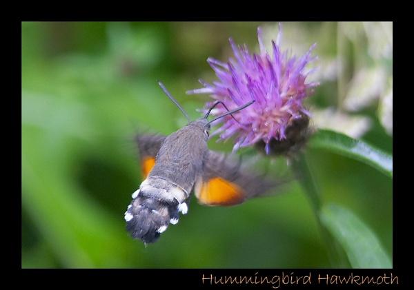 Hummingbird Hawkmoth by suzieosman
