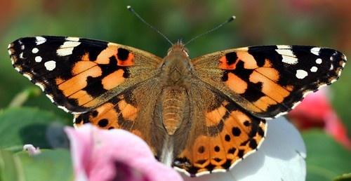 Butterfly by silburkp