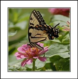 Swallowtaill lV