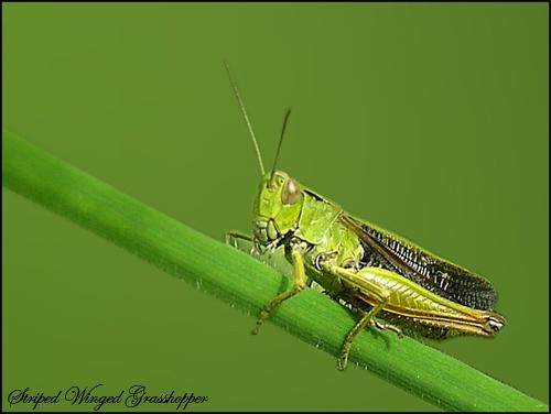 Stripe Winged Grasshopper by Ajack