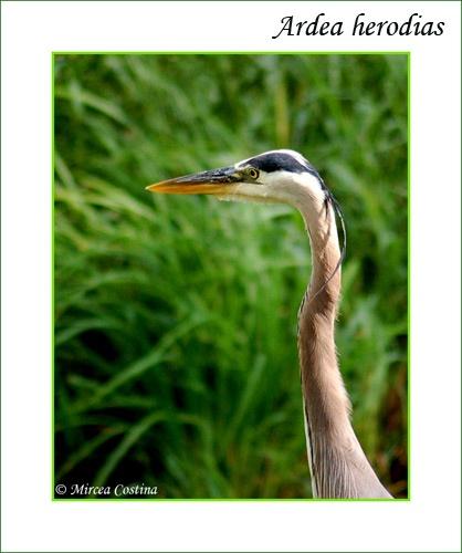 heron portrait by mirceax