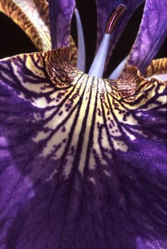 purple iris by barrywebb