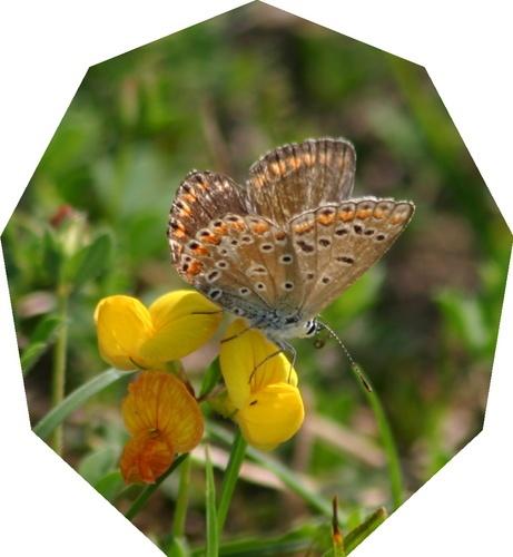 Female common Blue by Alphotos