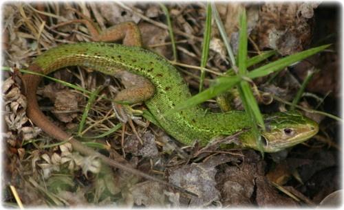 Wild lizard by Alphotos