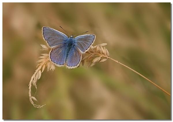 Tiny Blue by naturenut