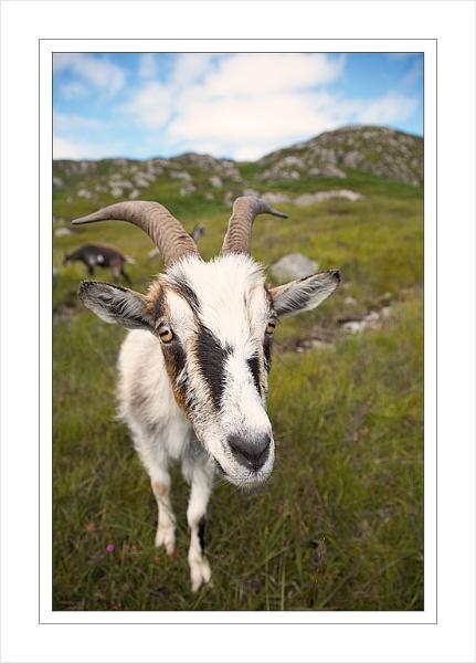 Wild goat by Ewan