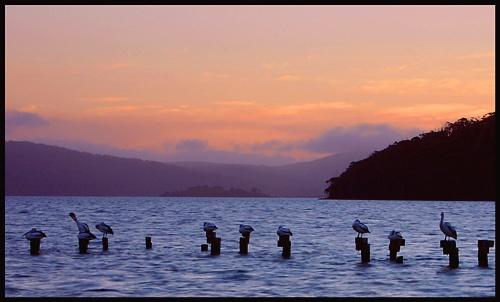 Pelicans at Dusk by michellec