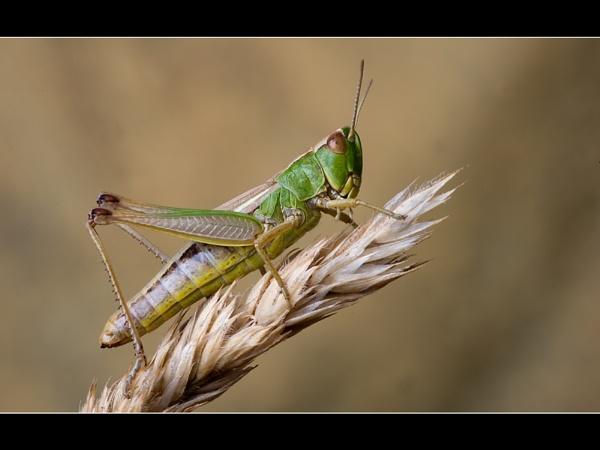 Meadow Grasshopper by gtroop