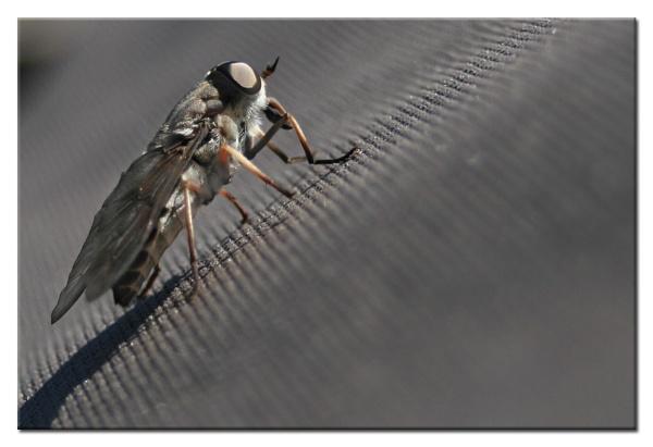 horsefly by brandi