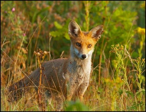 foxy lady by flyking3