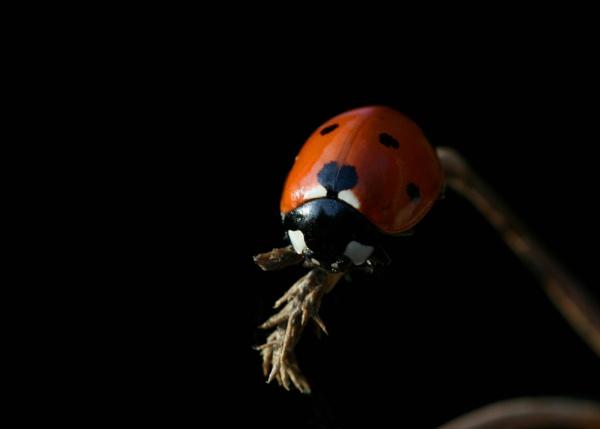 Ladybug by NickCoker