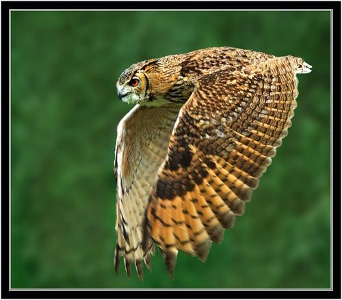 Bengal eagle owl in flight by Hawkgenes
