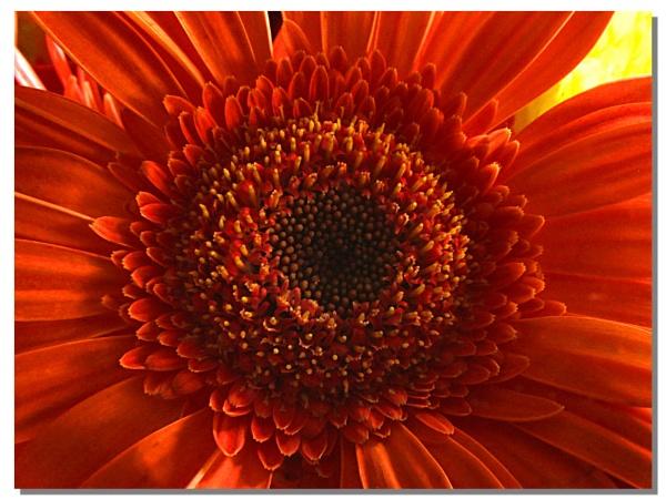 Orange Gerbera by jonhayward