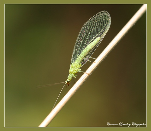Green Lacewing by Ajack