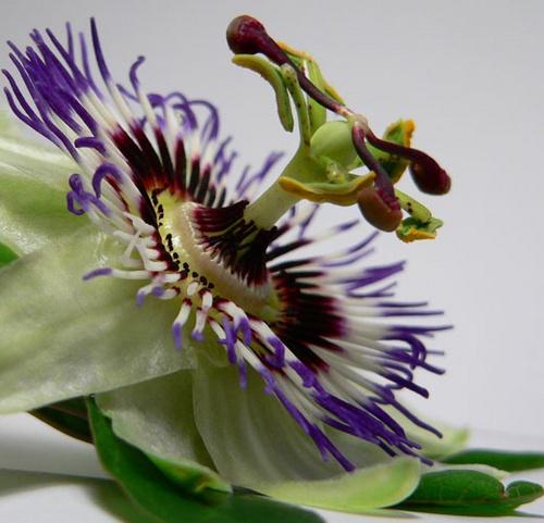 passion flower by mcgregom