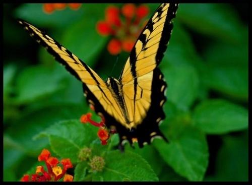 Flutter by Butterfly by JenG