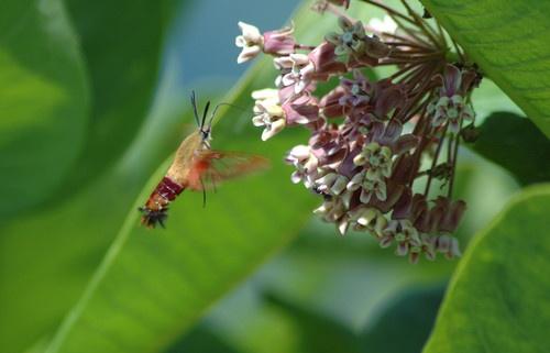 Hummingbird Moth by playfulpixie