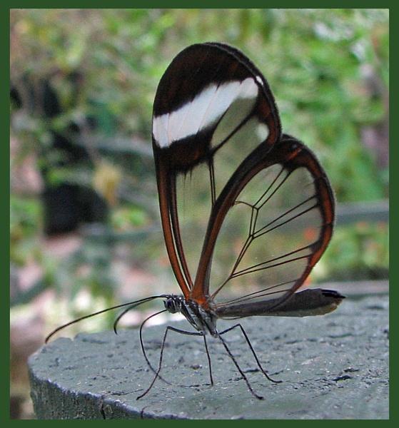 Glasswing by KarenFB