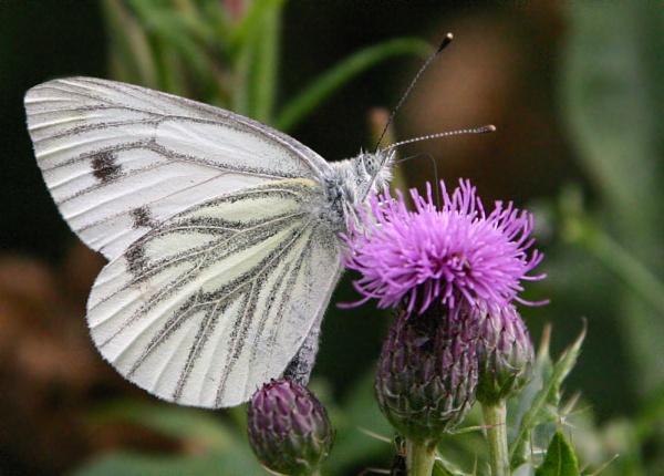 Butterflies again by Pogs