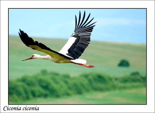 white stork by mirceax