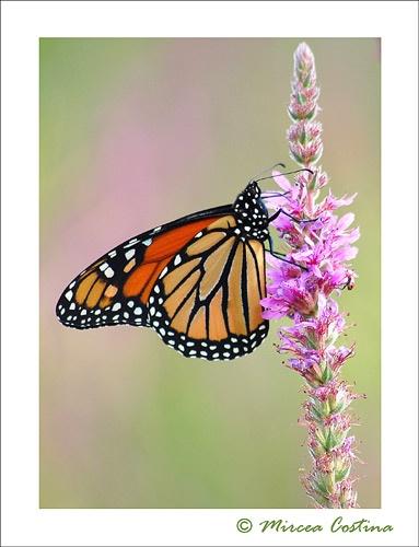 monarch 3 by mirceax