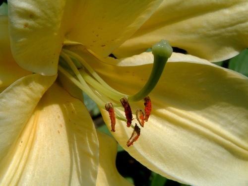 Lily by Pixsie