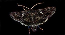 Acid Moth
