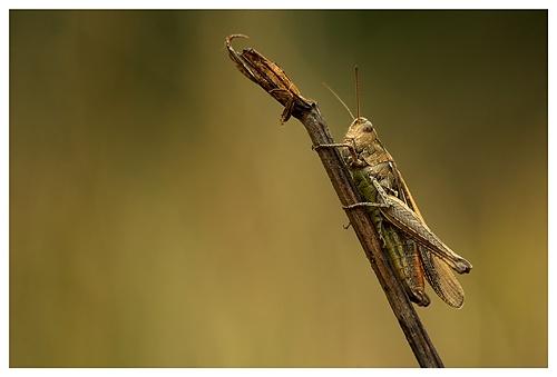Grasshopper by baker58