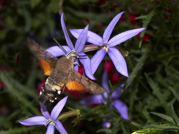 Hummingbird Hawkmoth by KathyW