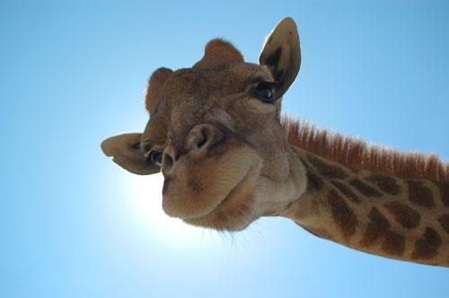 Giraffe_Sunlight by rlack