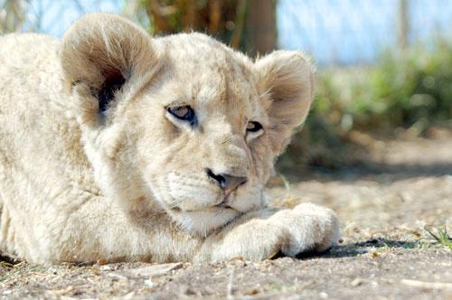 Lion Cub by rlack