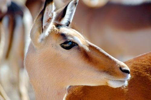 Impala by rlack
