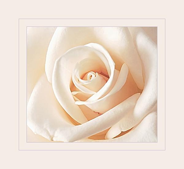 Rose by vparmar