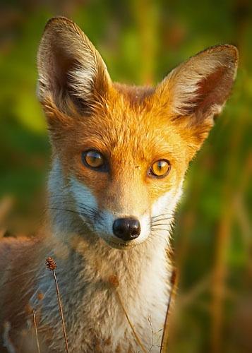 Fox 2 by flyking3