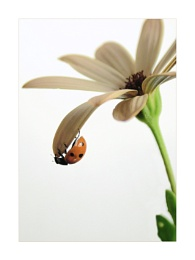 Osteospermum and Ladybird