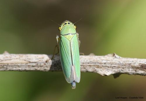 Leaf Hopper by pcjackso