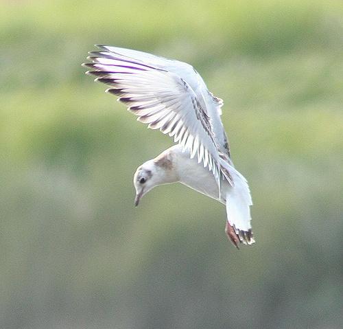 gull by Matthew_Leyshon