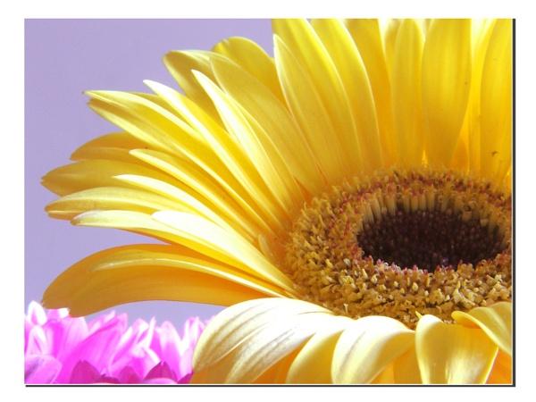 Yellow Gerbera by jonhayward