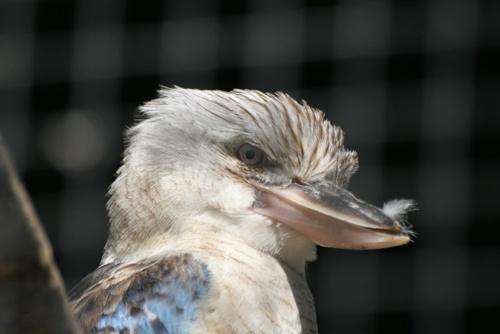 Kookaburra by ValSaxby