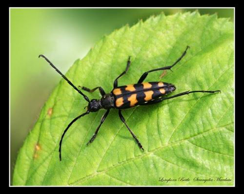 Longhorn Beetle by Ajack