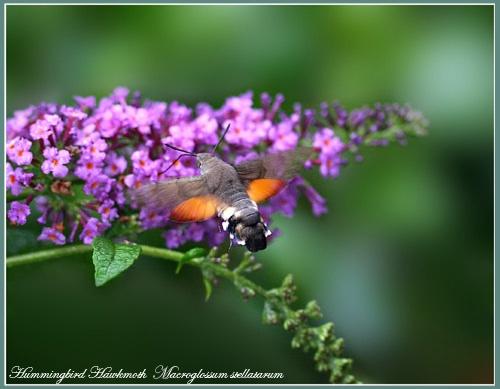 Hummingbird Hawkmoth by Ajack