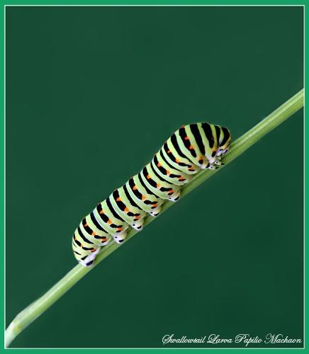 Swallowtail Larva by Ajack