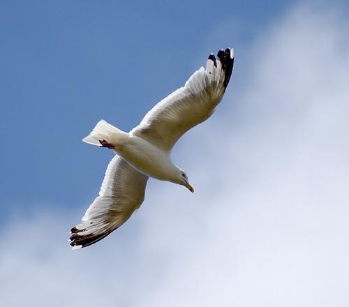 Gull in flight by BOB S