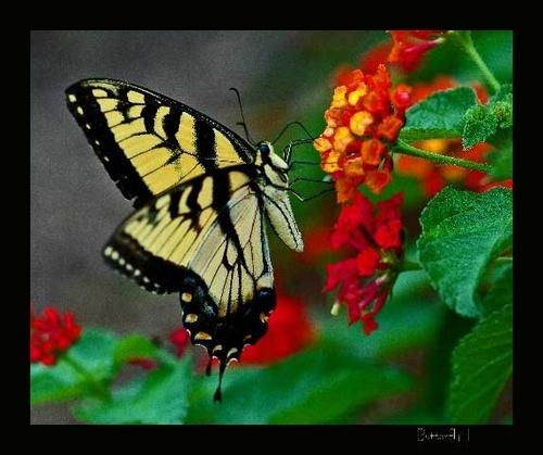 Butterfly III by JenG