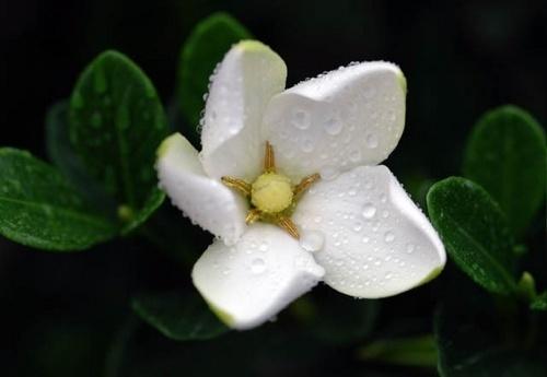 Gardenia Bloom by JenG