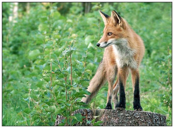 fox #2 by zebhylon