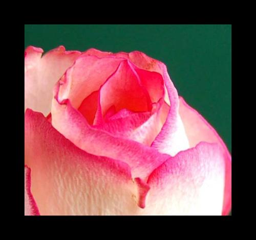 rose petals by temair