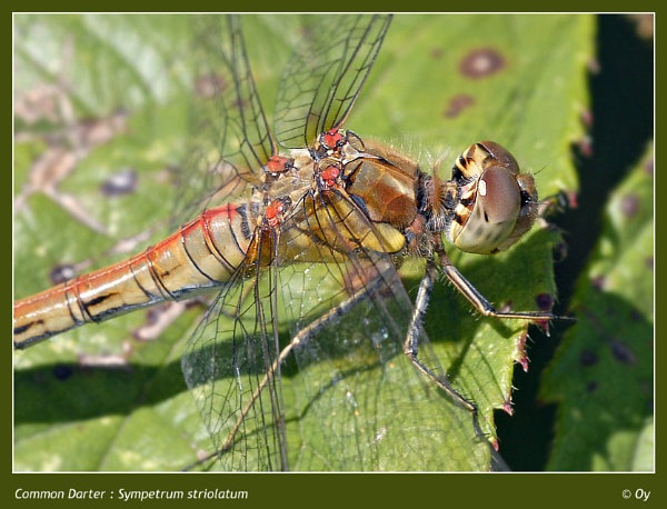 Common Darter by Oy_bumbler