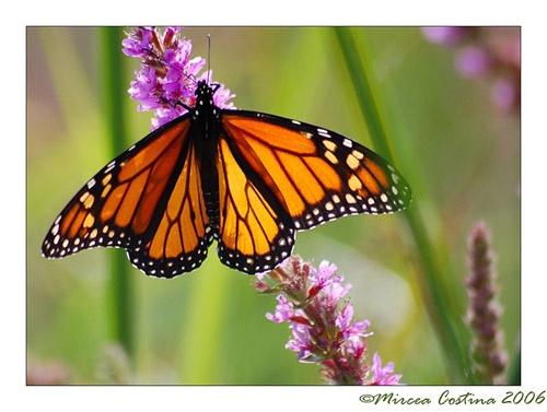 open monarch by mirceax